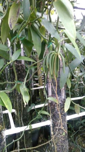 バニラ農園